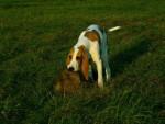 Schwyz Hound picture