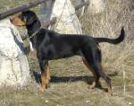 Transylvanian Hound picture