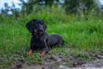 Polish Hunting Dog picture