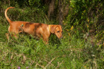 Serbian Hound picture