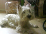 Lisa - West Highland White Terrier (13 years)