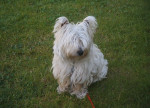 Brandy - Male West Highland White Terrier (3 years)