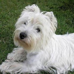 Manix - Male West Highland White Terrier (Other)