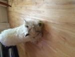 My Babbles XX - Male West Highland White Terrier (2 years)