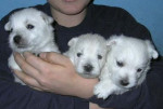 Westie Dream Story - Male West Highland White Terrier