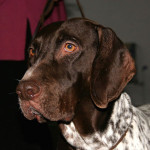 Old Danish Pointer picture