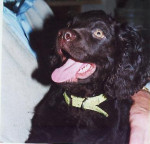 Chief - Male American Water Spaniel