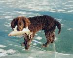 Fritz - Male American Water Spaniel