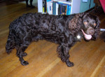 American Water Spaniel picture