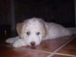 Sura - Spanish Water Dog (6 months)