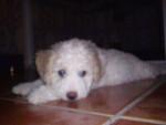 Sura - Spanish Water Dog (3 months)
