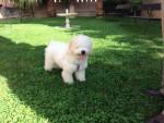 Sura - Spanish Water Dog (10 months)