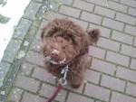 Bella - Spanish Water Dog (1 year)