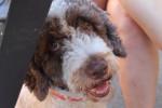 Luna - Spanish Water Dog (4 years)