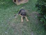 Luna - Deutscher Wachtelhund (1 year)