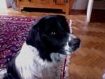 Jimi - Male Deutscher Wachtelhund (2 years)