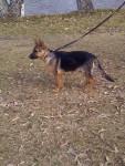 Rex de pequeño - Male Deutscher Wachtelhund (5 months)