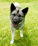 Norwegian Elkhound picture
