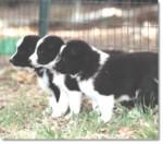 Chien d'Ours de Carélie - Karelian Bear Dog