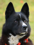 Karelian Bear Dog picture