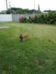 Dog berger Malinois chiot - Belgian Malinois  (0 months)