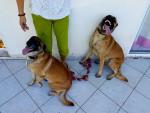 Dog Zya et Rex - Belgian Malinois  (0 months)