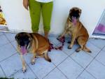 Dog Zya et Rex Malinois - Belgian Malinois  (0 months)