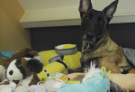 Isis - Belgian Malinois (2 years and 8 months)