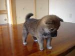 Oso - Male German Spaniel (3 months)