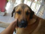 Berger d'Anatolie carnaque - Anatolian Shepherd Dog