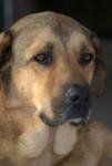 Carnaque berger d'anatolie . - Anatolian Shepherd Dog