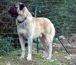 BERGER D'ANATOLIE, Uhlan du val de la boissiere - Anatolian Shepherd Dog