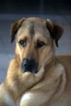 Berger d'Anatolie - Anatolian Shepherd Dog