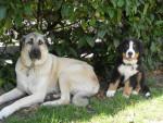 Berger d'Anatolie, Braxie - Anatolian Shepherd Dog