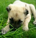 Berger d'Anatolie- Aslan - Anatolian Shepherd Dog