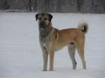Doc Berger d'Anatolie de 3 ans - Anatolian Shepherd Dog (3 years)