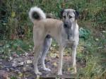 Doc, 3 ans, Berger D'Anatolie - Anatolian Shepherd Dog (3 years)