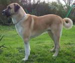 Varish du Val de la Boissière - Male Anatolian Shepherd Dog