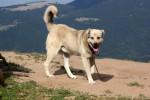 Anatolian Shepherd Dog picture