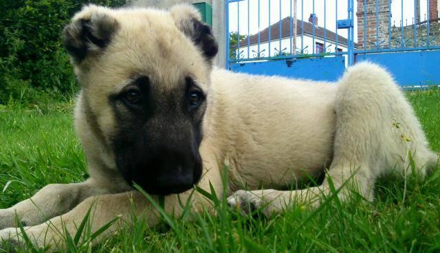 Berger d'Anatolie - Aslan - Anatolian Shepherd Dog