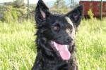 Milu - Croatian Sheepdog (2 years)