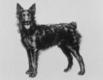 Chien de Berger Croate - Croatian Sheepdog