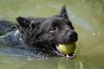 Croatian Sheepdog picture