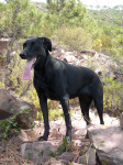 Majorca Shepherd Dog picture