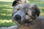 Mortimer - Male Pyrenean Shepherd (2 months)