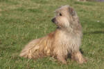 Pyrenean Shepherd picture