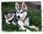Max - Male Pyrenean Shepherd (2 years)