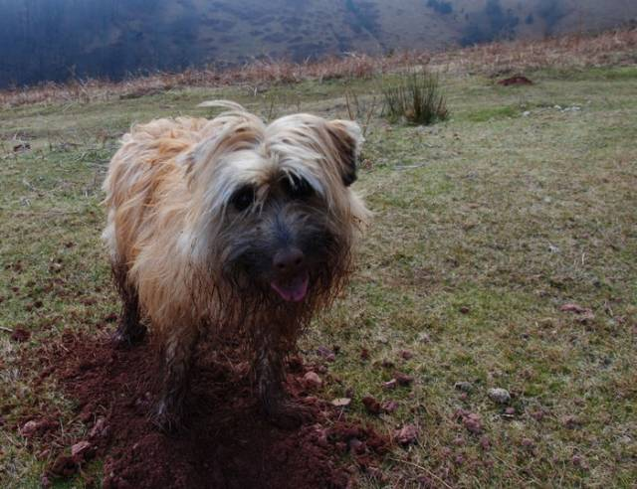 Daïka 4 ans - Pyrenean Shepherd (4 years)