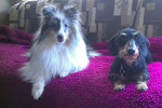 Spring and dixie - Male Shetland Sheepdog (5 months)