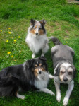 bandy daxon beauty - Male Shetland Sheepdog (15 years)